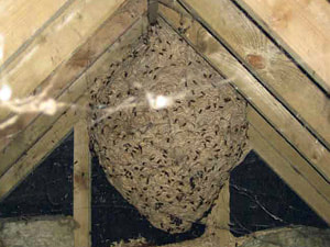 A gigantic bees nest inside an attic space.